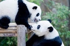 马来西亚为在马出生的第二只大熊猫庆生