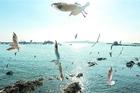 冬季到青岛来看鸥