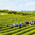 青岛名茶成为知名品牌 走进茶田探寻内在基因